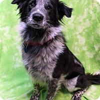 Adopt A Pet :: Domino - Westminster, CO