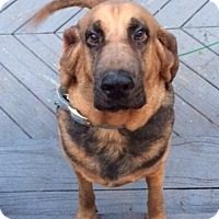 Bloodhound Dog for adoption in Saranac Lake, New York - LuLu -Courtesy Posting