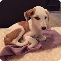 Adopt A Pet :: Arabella - Houston, TX