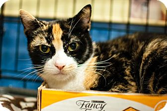 Domestic Shorthair Cat for adoption in Gainesville, Florida - Angelica