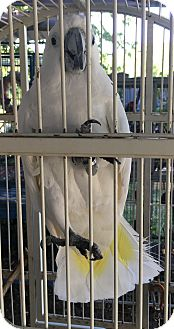 Cockatoo for adoption in Fort Worth, Texas - Dolly