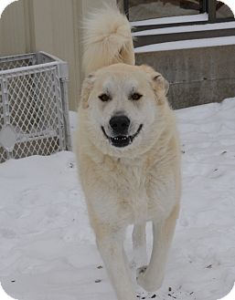 Great Pyrenees Mix Dog for adoption in Pacific, Missouri - Marshall