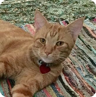 Domestic Shorthair Cat for adoption in Jeannette, Pennsylvania - Nacho