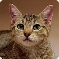 Domestic Shorthair Kitten for adoption in Columbus, Ohio - Wally