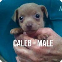 Adopt A Pet :: CALEB - Glendale, AZ