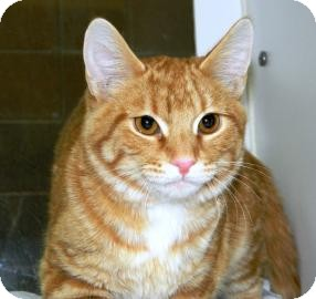 Domestic Shorthair Cat for adoption in Cheyenne, Wyoming - Blitzen