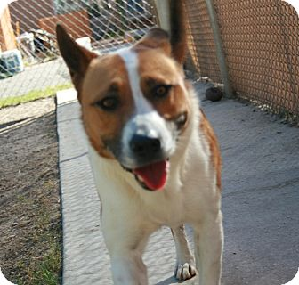 Akita Mix Dog for adoption in san antonio, Texas - Kira