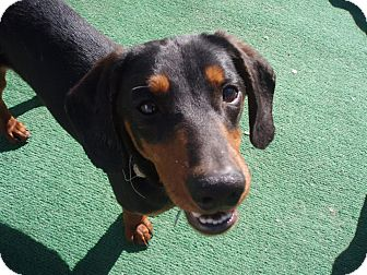 Dachshund Mix Dog for adoption in Atascadero, California - Marlin