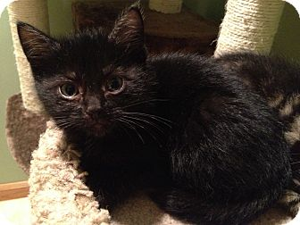 Domestic Shorthair Kitten for adoption in East Hanover, New Jersey - Ash, Houdini
