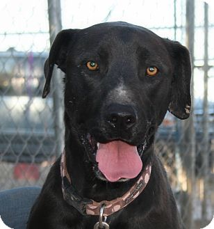 Labrador Retriever Mix Dog for adoption in Las Cruces, New Mexico - Toby
