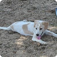Adopt A Pet :: Sugar IN CT - East Hartford, CT