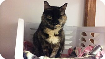 Domestic Shorthair Cat for adoption in Diamond Springs, California - Claudia