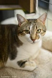 Domestic Mediumhair Cat for adoption in New Orleans, Louisiana - Tassie