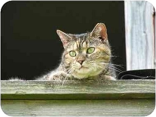 Domestic Shorthair Cat for adoption in Columbia, Maryland - Barn Cats