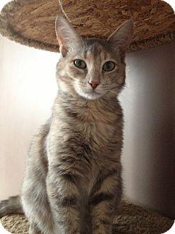 Domestic Shorthair Cat for adoption in O'Fallon, Missouri - Laney
