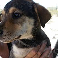 Adopt A Pet :: Samson - Tucson, AZ