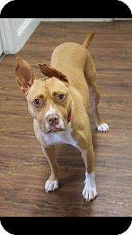 Pit Bull Terrier/Terrier (Unknown Type, Medium) Mix Dog for adoption in Colmar, Pennsylvania - Roo