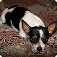 Chihuahua Mix Dog for adoption in Odessa, Texas - Alice