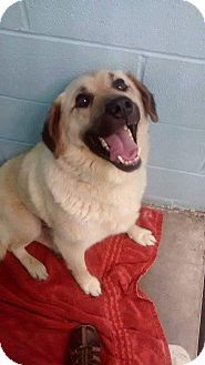 Labrador Retriever Mix Dog for adoption in Flintstone, Maryland - Mason
