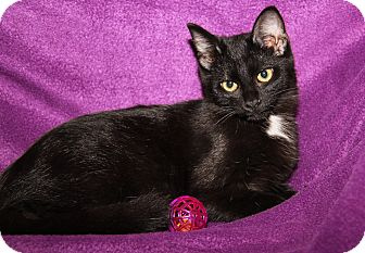 Domestic Shorthair Kitten for adoption in Marietta, Ohio - Raven (Spayed)
