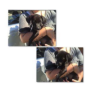 Labrador Retriever/Hound (Unknown Type) Mix Puppy for adoption in South San Francisco, California - Skeeter