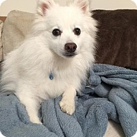 American Eskimo Dog Dog for adoption in Washington, D.C. - Anderson (Has application)