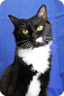 Domestic Mediumhair Cat for adoption in Winston-Salem, North Carolina - Aster