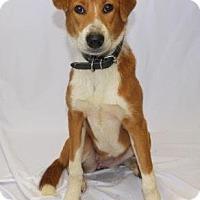 Sheltie, Shetland Sheepdog Mix Puppy for adoption in Chester Springs, Pennsylvania - Rose