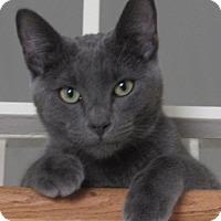 Domestic Shorthair Kitten for adoption in Studio City, California - Milton