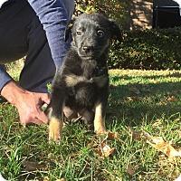 Shepherd (Unknown Type) Mix Puppy for adoption in oklahoma city, Oklahoma - London