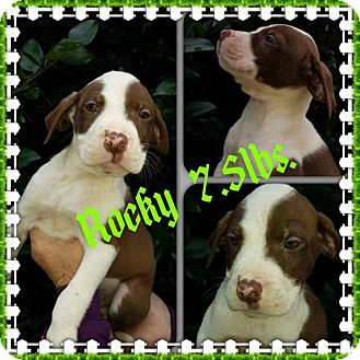 Labrador Retriever/Hound (Unknown Type) Mix Puppy for adoption in Shaw AFB, South Carolina - Rocky