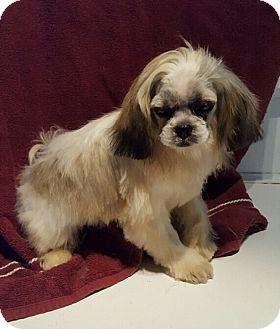 Overland Park Ks Shih Tzu Meet Blitzen A Puppy For