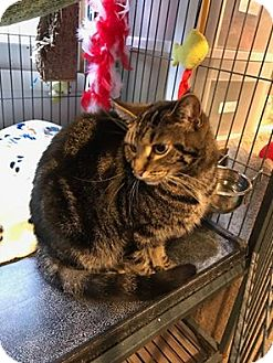 Domestic Shorthair Cat for adoption in Hanna City, Illinois - Bianca-adoption pending