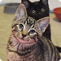 Adopt A Pet :: Morpheus - Lincoln, NE