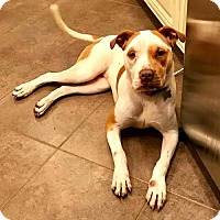 American Bulldog/Pit Bull Terrier Mix Dog for adoption in Wylie, Texas - Lillyth