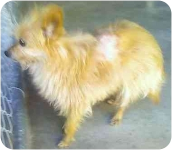 Yorkie, Yorkshire Terrier/Pomeranian Mix Dog for adoption in Los Alamitos, California - Nutmeg
