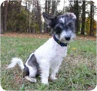Papillon/Maltese Mix Dog for adoption in Mocksville, North Carolina - Pookie