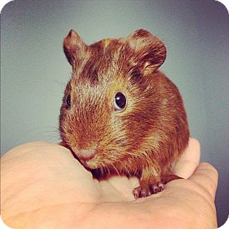 Guinea Pig for adoption in Pittsburgh, Pennsylvania - Frostina