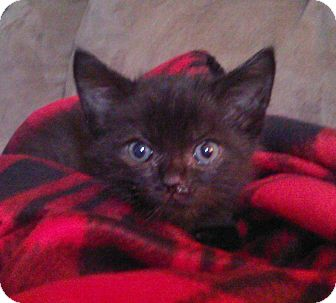 Domestic Shorthair Kitten for adoption in Bentonville, Arkansas - Joey