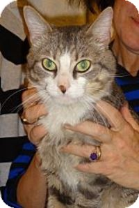 Domestic Shorthair Cat for adoption in New York, New York - Georgie Boy'13