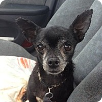 Chihuahua Dog for adoption in Davie, Florida - Stevie Wonder