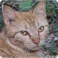 Domestic Shorthair Cat for adoption in Tyler, Texas - L-Mira
