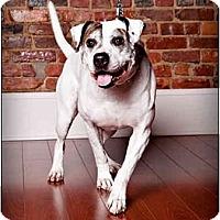 Adopt A Pet :: Blitz - Owensboro, KY