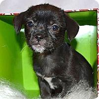 Adopt A Pet :: *Luna - PENDING - Westport, CT