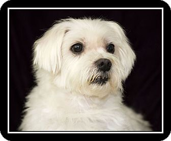 maltese rescue san diego san diego ca maltese meet max a dog for adoption 4668