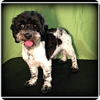 Adopt A Pet :: Oreo - Indian Trail, NC