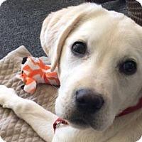 Adopt A Pet :: DIXIE - avail. foster to adopt - Hurricane, UT