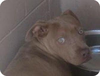 Bull Terrier Mix Dog for adoption in Darien, Georgia - Tyler