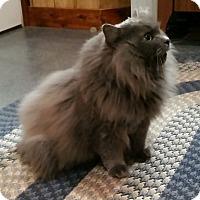 Adopt A Pet :: T.C. (Nebelung) - Witter, AR