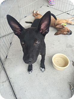Labrador Retriever Mix Puppy for adoption in San Angelo, Texas - Tippy